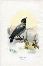 1901 HOODED CROW BIRD Antique Print W.Swaysland