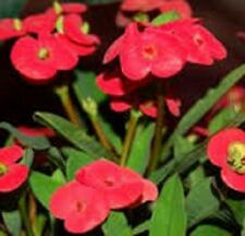 RED SOMONA The Forever Flower Euphorbia all-year-flowering plant in 140mm pot