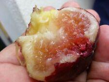 Fig Tree Rooting Kit - 6 Sweet Brown Turkey Fig Tree Cuttings + Rooting Bags +