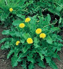 150 Semi/Seeds DENTE DI LEONE o TARASSACO