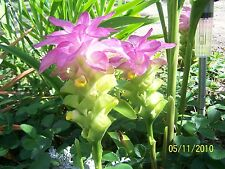 Pink Ginger Curcuma lily plant 1 Bulb Ornamental flower for gardens pots