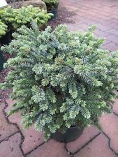 Serbische Zwergfichte Kamenz - Picea omorika Kamenz 20-25cm