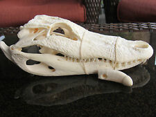 Authenric Large Alligator Tooth Large Alligator tooth for jewelry Swamp People C