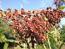Rote Mohrenhirse - Zuckerhirse - Sorghum bicolor - 50+ Samen - Santa Fe Red