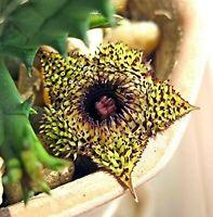 Huernia Hystrix * Toad Plant * Porcupine Huernia * Very Rare * 3 Seeds *