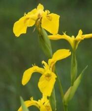 Yellow Flag Iris - Iris pseudacorus  (Marginal/Pond Plants)