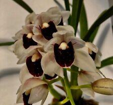 Cymbidium White Black Lip Star XL Pflanze 1-2 Triebe Orchidee Orchideen