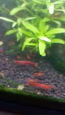 5x Red Cherry Neocaridina Shrimp Tropical - Tank cleaning crew