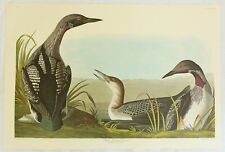 The Birds of America. Audubon. Black-throated Diver.. Amsterdam Edition.