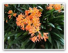 beautiful bright orange clivias, pot size 10/12 inches, now only $19.95 per pot