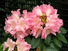 Rhododendron Bruce Brechtbill - #2 Contain Plant - Rhododendron of the Year 2009