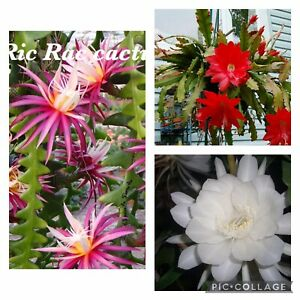 BUNDLE OF CUTTINGS, 1.Ric Rac, Red Epiphyllum, Queen Of Night, (No WA, NT, TAS)