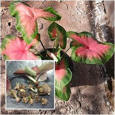Caladium 1 Tuber, Queen of the Leafy Plants ''Daengwua'' Tropical From Thailand