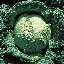 Vegetable Seeds Cabbage Savoy D'Aubervilliers French Heirloom NON GMO