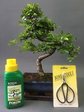 20cm Shaped Chinese Elm Bonsai Tree Gift Set + FREE P&P