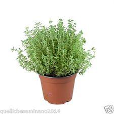 700 Semi Seeds Samen di timo - Thyme - Thymus vulgaris erbuccia ,sermollo