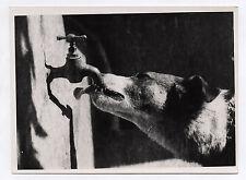 PHOTO ANCIENNE Chien Vers 1950 Rayon de Lumière Robinet Soif Boire Langue