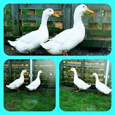 10 x Bruteier Stanbridge White Enten Reinrassig !!! Rarität !!! (hatching eggs)