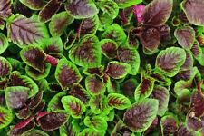 500 RED GARNET AMARANTH Seeds-Non GMO-Organic-Open Pollinated
