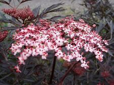 Purple Leaved Elder / Sambucus Nigra 'Black Lace' 25-30cm Tall in 2L Pot