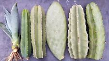 "Three 10""-11.5"" Tip Cactus Cuttings Variety"