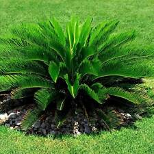 Sago Palm Tree seeds Cycas revoluta Tropical Cycad Bonsai Tree Home Garden 2Pcs