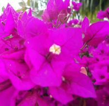 LITTLE GUY Bougainvillea Dwarf rich magenta-purple flowers plant in 140mm pot