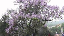 Princess Tree - Empress Tree - Paulownia tomentosa - 50+ Seeds - FAST-GROWING!