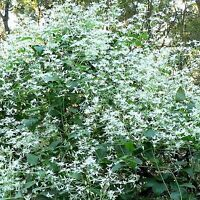 AUSTRALIAN CLEMATIS SEEDS CLEMATIS ARISTATA NATIVE CLIMBER 30 SEED PACK