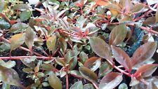 Ludwigia repens 'Rubin' - Aquarium plant