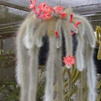 20pcs Hildewintera Cleistocactus Colademononis Monkey's Tail Cactus Bonsai Seeds