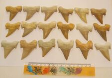 IDD fossils Large Great white shark tooth real fossil Otodus Obliquus 55-60mm