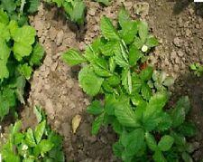 Fruit - Alpine Strawberry - Ali Baba - 1g/2000 Seeds  - Large