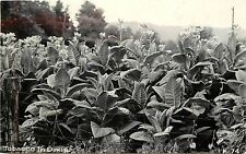 1930-50 Real Photo Postcard Tobacco Flowers Dixie Botanical Agriculture Unposted