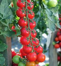 Tomato MINOPRIO F1 seeds Red Cherry professional tomatoes 10 seeds
