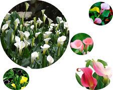 Rare Bonsai Bulbs Calla Lily Flower Seeds Mixed Color Home Garden Decor Plants