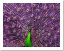 A Green And Purple Peacock. Art Print Home Decor Wall Art Poster - C
