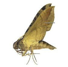 Unmounted Butterfly/Sphingidae - Eumorpha cissi, male, Bolivia, A1/A-