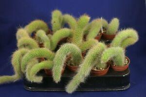 HILDEWINTERA COLADEMONONIS 1/15 =monkey tail= cacti 仙人掌 กระบองเพชร kakteen #6181