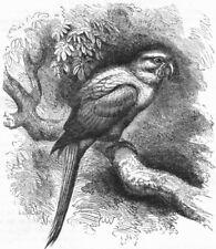 BIRDS. Cracker. Arara. Garuba c1870 old antique vintage print picture