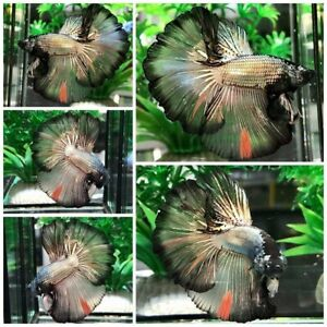 Live Fish Betta Male Premium Grade : Copper Gold Black (Halfmoon) From Thai