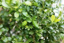 MT WHITE LIME (Citrus garrawayi) 3 YEAR OLD GRAFTED PLANT