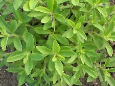 Stevia Seeds - Stevia Rebaudiana - approx 15000 seeds