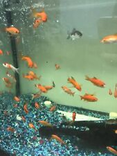 10 1-2 inch Live Goldfish Fedex Express Shipping great For Tanks And Ponds