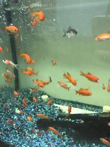 10 1-2 inch Live Goldfish EXPRESS SHIPPING great For Tanks And Ponds