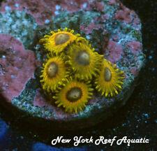 New York Reef Aquatic - 0611 E3 Tweetybird Zoanthid, Zoa, Wysiwyg Live Coral