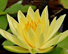 ELDORADO HARDY WATER LILY Nymphaea Eldorado Yellow 10 Seeds