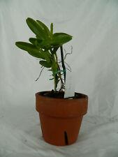 Epi Rigidum 'Tamara' orchid plant (21)