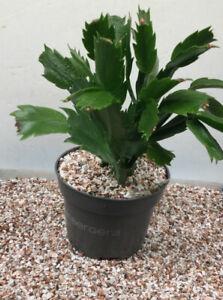 3-5mm Autumn Quartz Gravel Stone Dressing To Bonsai Pot Topper Cactus Succulent