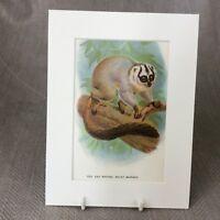 1896 Antico Stampa Scimmia Rosso Con Notte Primate Originale Vittoriano Zoology